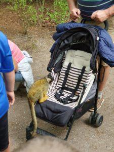 aapje in de kinderwagen